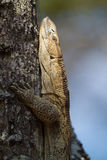 White-throated Monitor Lizard in tree Stock Photography