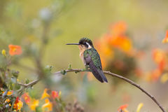 White-throated Mountain-gem Female Royalty Free Stock Photos