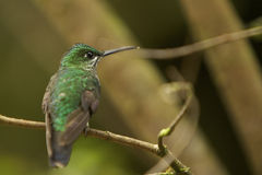 White-throated Mountain-Gem Hummingbird Stock Photo