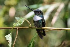 White throated mountain gem hummingbird Royalty Free Stock Photography