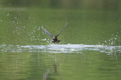 White-throated needletail Stock Images