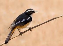 White throated robin Stock Photo