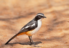 White throated Robin Chat Stock Images
