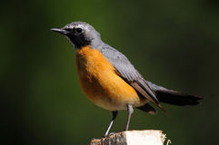 White-throated Robin Royalty Free Stock Photos