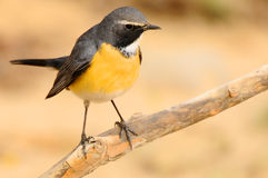 White Throated Robin Stock Photography