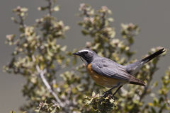 White-throated Robin (Irania gutturalis). A white throated robin is perching on bushes royalty free stock photography