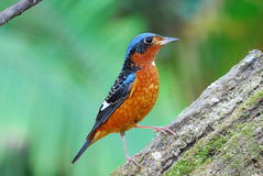 White-throated rock-thrush Royalty Free Stock Image