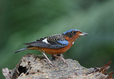 White-throated Rock Thrush Stock Photo