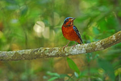 White_throated Rock_Thrush Fotografia Stock
