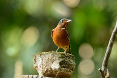 White-throated rock-thrush Royalty Free Stock Photos
