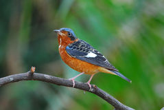 White-throated rock-thrush Stock Photography