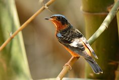 White-throated rock-thrush Royalty Free Stock Photography