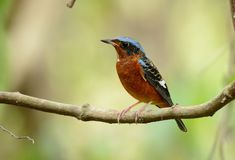 White-throated rock-thrush Stock Photo