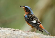 White-throated rock-thrush Royalty Free Stock Photo