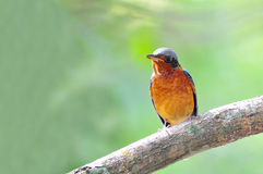 White-throated rock thrush bird. From Thailand background Royalty Free Stock Photos
