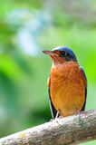 White-throated rock thrush bird. From Thailand background Royalty Free Stock Image