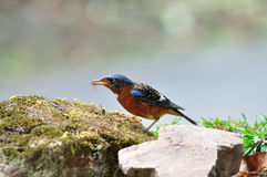 White-throated rock thrush bird. From Thailand background Royalty Free Stock Photography