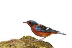 White-throated Rock Thrush bird Stock Photos