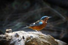 White-throated rock-thrush bird Stock Photography
