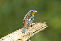 White-throated Rock-thrush, Bird of Thailand Stock Photos