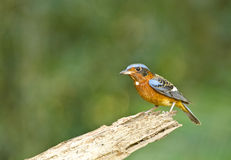 White-throated Rock-thrush, Bird of Thailand Stock Images