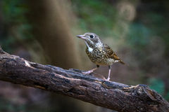 White-throated rock-thrush bird Stock Photos