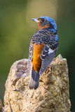 White-throated Rock-Thrush, Bird of Thailand Stock Photography
