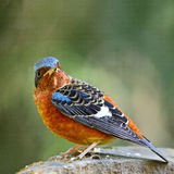 White-throated Rock-Thrush Stock Image