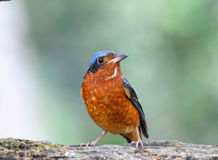 White-throated Rock-Thrush.(Montic ola gularis) Royalty Free Stock Photo