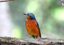 White-throated Rock-Thrush.(Montic ola gularis) Royalty Free Stock Image