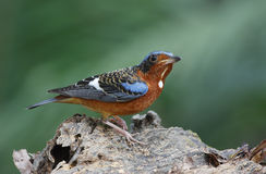 White-throated Rock Thrush Monticola gularis Stock Images