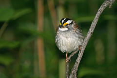 White throated sparrow. (Zonotrichia leucophrys) perched on branch, Central Park, NY stock images
