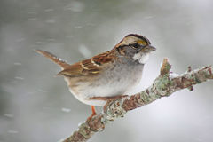 White Throated Sparrow. In a Snow Storm stock images