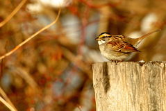 White Throated Sparrow. Male white throated sparrow perched on a fence post stock image