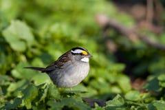 White Throated Sparrow. Zonotrichia albicollis Stock Photo