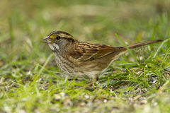 White-throated Sparrow. (Zonotrichia albicollis) Foraging on the Ground - Ontario, Canada Stock Images