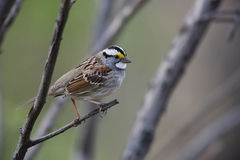 White-throated Sparrow. (Zonotrichia albicollis), white-stripe morph in perfect spring plumage sitting on small branch Royalty Free Stock Photos