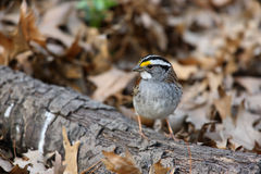 White-throated Sparrow. (Zonotrichia albicollis), white-stripe morph in perfect spring plumage sitting on log Royalty Free Stock Images
