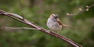 White-throated Sparrow on a Branch Stock Photo