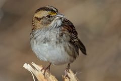 White Throated Sparrow. Close up of beautiful White Throated Sparrow - Zonotrichia albicollis perched on the bench Stock Photography
