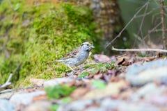 White Throated Sparrow. Stock Photos