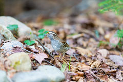 White Throated Sparrow. Royalty Free Stock Images
