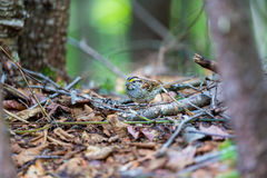 White Throated Sparrow. Royalty Free Stock Photography