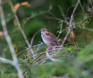 White Throated Sparrow. Stock Images