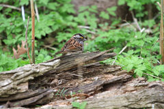 White - throated Sparrow Royalty Free Stock Photos