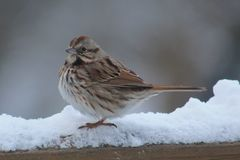 White-throated Sparrow Royalty Free Stock Photography