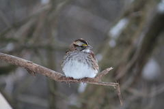 White Throated Sparrow. Just got to love these little beauties Stock Photos