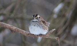 White Throated Sparrow. Just got to love these little beauties Stock Image