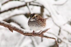 White Throated Sparrow. Just got to love these little beauties Royalty Free Stock Photo
