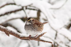 White Throated Sparrow. Just got to love these little beauties Royalty Free Stock Image
